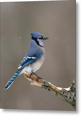 Winter Blue Jay Metal Print by Timothy McIntyre