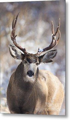 Winter Buck II Metal Print