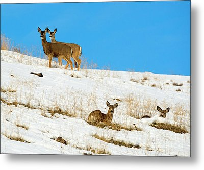 Metal Print featuring the photograph Winter Deer by Mike Dawson