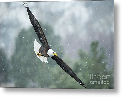 Winter Hunter Metal Print by Mike Dawson