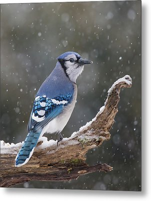 Winter Jay Metal Print by Mircea Costina Photography