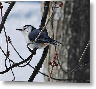 Metal Print featuring the photograph Winter Nut Hatch by Al Fritz
