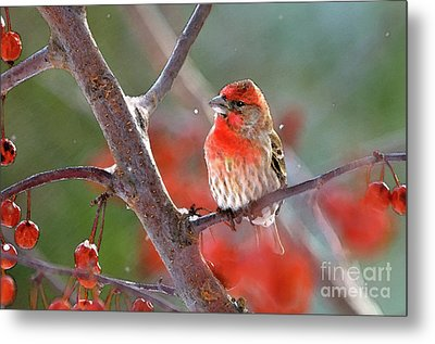 Winter Red Metal Print by Betty LaRue