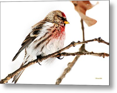 Winter Redpoll Metal Print by Christina Rollo