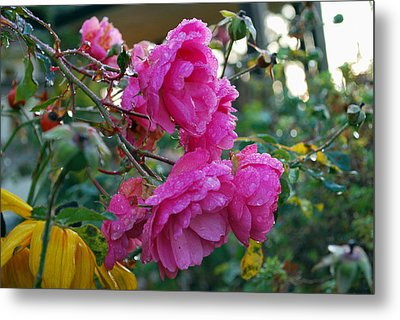 Metal Print featuring the photograph Winter Roses by Sergey  Nassyrov