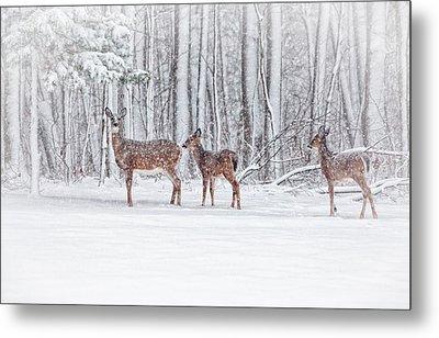 Winter Visits Metal Print by Karol Livote