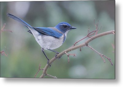 Metal Print featuring the photograph Wintering Scrub Jay by Angie Vogel