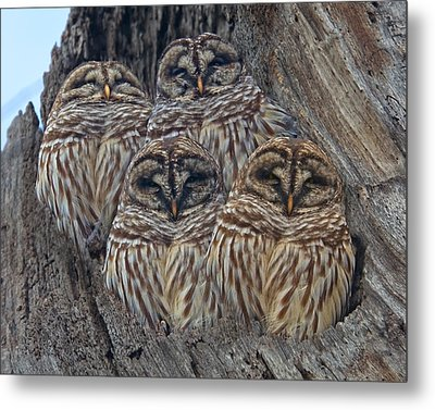 Wintry Barred Owls   Metal Print