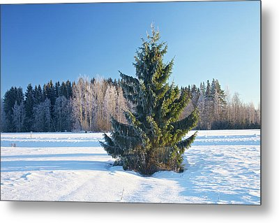 Wintry Fir Tree Metal Print