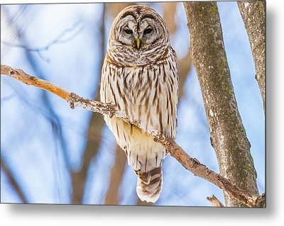 Wintry Stare Metal Print