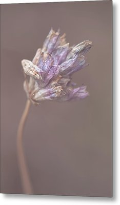 Metal Print featuring the photograph Withering Purplehead by Alexander Kunz