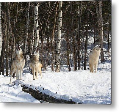 Wolf Choir Metal Print by Gerry Sibell