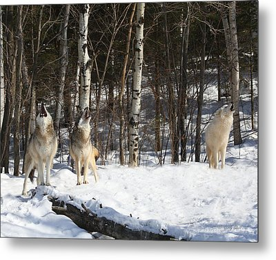 Wolf Choir Metal Print
