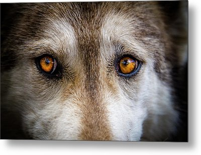 Metal Print featuring the photograph Wolf Eyes by Teri Virbickis