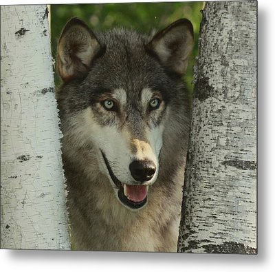 Wolf In The Birch Trees Metal Print