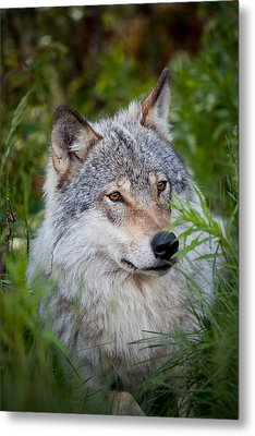 Wolf In The Grass Metal Print