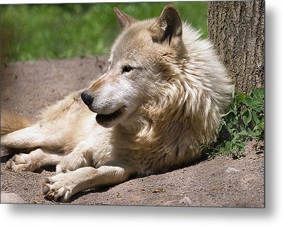 Metal Print featuring the photograph Wolf by JT Lewis