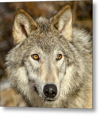 Wolf Portrait Metal Print by Jack Bell