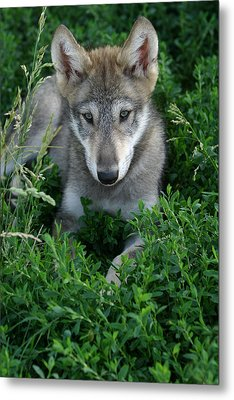 Wolf Pup Portrait Metal Print by Shari Jardina