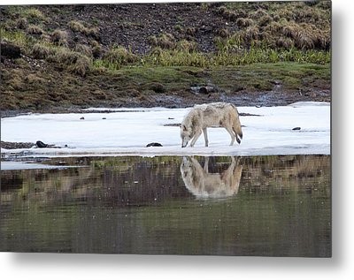 Wolflection Metal Print by Steve Stuller