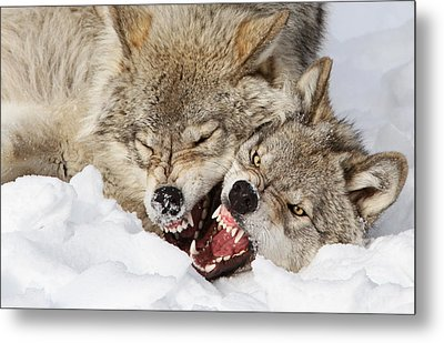Wolves Rules Metal Print