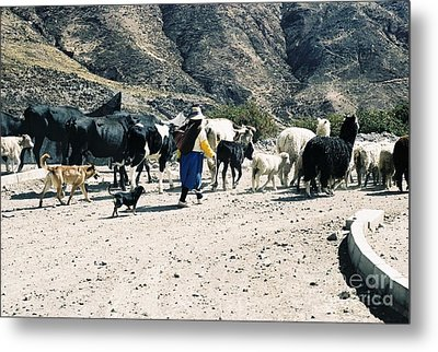 Woman Leading Cattle In Chile Metal Print by Trude Janssen