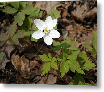 Metal Print featuring the photograph Wood Anemone by Linda Geiger