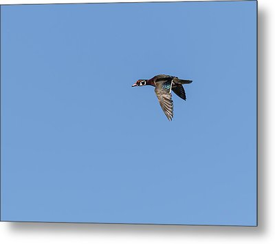 Wood Duck 2017-1 Metal Print by Thomas Young