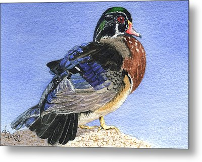 Wood Duck Metal Print by Lynn Quinn