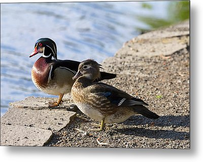 Wood Duck Pair By The Lake Metal Print by David Gn