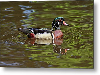 Metal Print featuring the photograph Wood Duck by Sandy Keeton