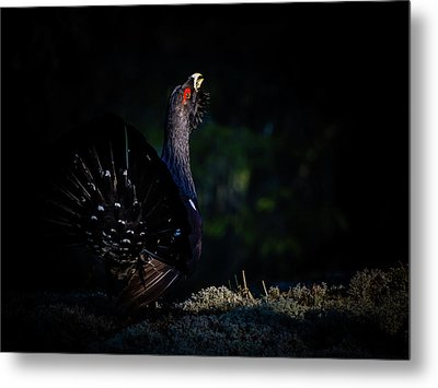 Wood Grouse's Sunbeam Metal Print by Torbjorn Swenelius
