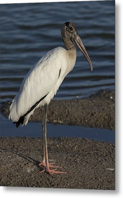 Wood Stork In The Final Light Of Day Metal Print