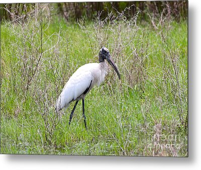Wood Stork In The Marsh Metal Print by Carol Groenen