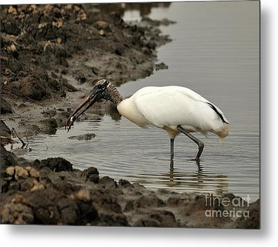 Wood Stork With Fish Metal Print by Al Powell Photography USA