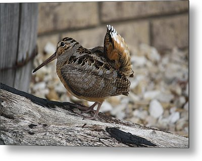 Woodcock Metal Print