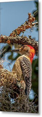 Woodpecker Closeup Metal Print
