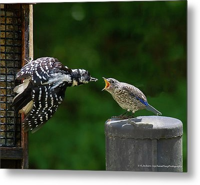 Woodpecker Feeding Bluebird Metal Print by Robert L Jackson