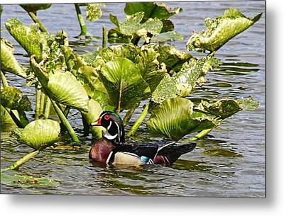 Woody The Wood Duck Metal Print by Lanis Rossi