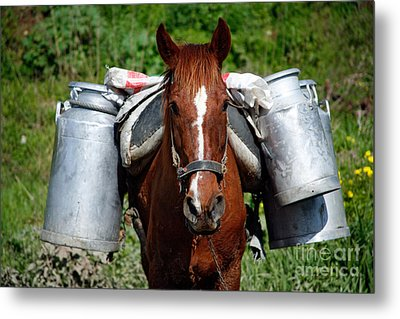 Work Horse At The Azores Metal Print by Gaspar Avila