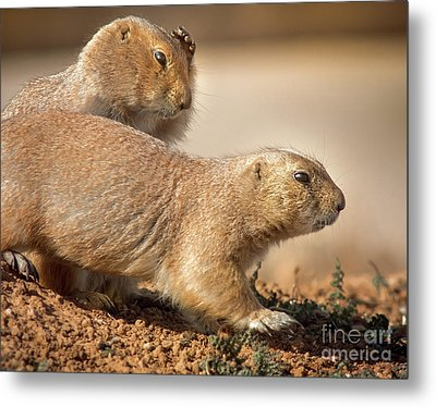 Metal Print featuring the photograph Worried Prairie Dog by Robert Frederick