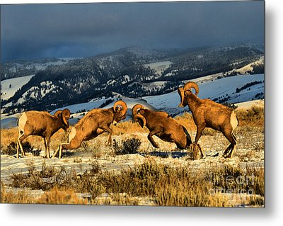 Metal Print featuring the photograph Wyoming Bighorn Brawl by Adam Jewell