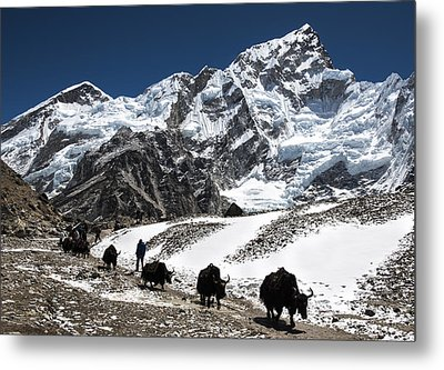 Yaks In The Himalayas Metal Print by Laura Szanto
