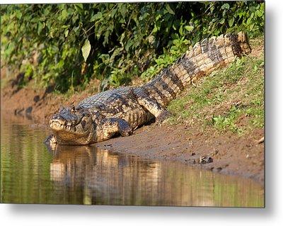 Alligator Crawling Into Yakuma River Metal Print