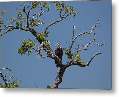 Yawkey Wildlife Reguge - American Bald Eagle Metal Print by Suzanne Gaff