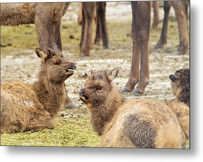 Metal Print featuring the photograph Yearlings by Jeff Swan