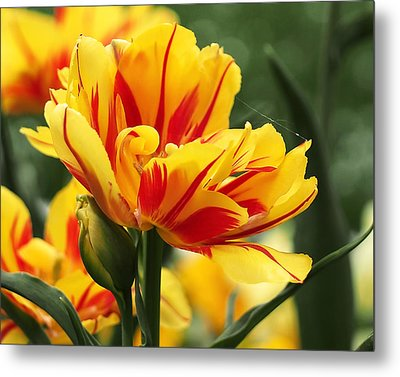 Yellow And Red Triumph Tulips Metal Print by Rona Black