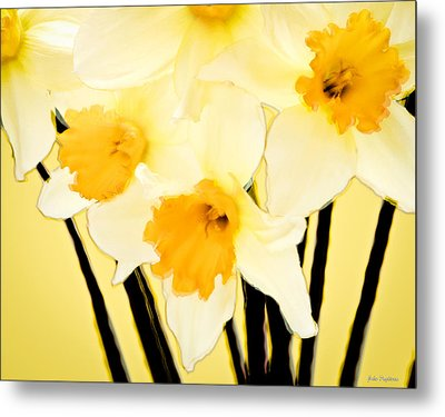 Yellow And White Daffodils. Metal Print by John Pagliuca