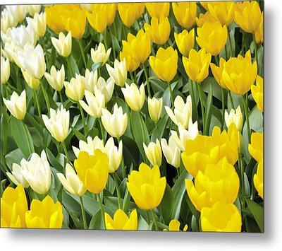 Yellow And White Tulips Metal Print