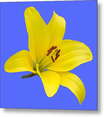 Yellow Asiatic Lily On Blue Metal Print